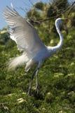 Grand héron montrant le plumage d'élevage à une colonie de freux en Floride Images stock