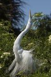Grand héron montrant le plumage d'élevage à une colonie de freux en Floride Photographie stock
