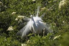 Grand héron montrant le plumage d'élevage à une colonie de freux en Floride Images libres de droits