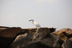 Grand héron, observation des oiseaux Images stock