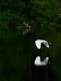 Grand héron volant au-dessus de l'eau avec la réflexion Photos stock
