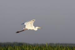 Grand héron volant au-dessus des marais Images libres de droits
