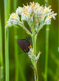 Grand Hairstreak pourpre sur la racine rouge photo libre de droits