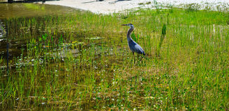 Grand Heron relaxing on fresh water lake in Oxford FL Royalty Free Stock Images