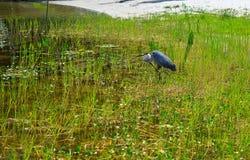 Grand Heron relaxing on fresh water lake in Oxford FL Stock Photo