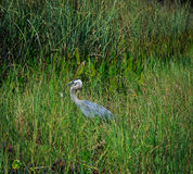 Grand Heron relaxing on fresh water lake in Oxford FL Royalty Free Stock Photography