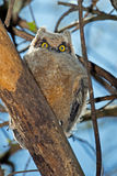 Grand hibou à cornes Photos libres de droits