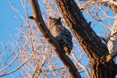 Grand hibou à cornes dans l'arbre Image stock
