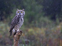 Grand hibou à cornes sous la pluie Image stock