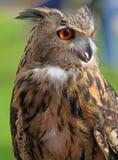 Grand hibou avec les yeux oranges et le plumage épais Photographie stock libre de droits