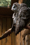 Grand hibou gris Photographie stock libre de droits