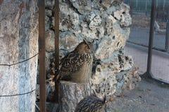 Grand hibou sauvage photographie stock