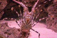 Grand homard de roche épineux fleuri en plan rapproché de sa représentation de ventre de sa totalité sous le corps avec des jambe photos stock
