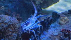 Grand homard rampant dans le réservoir d'eau salée banque de vidéos