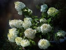Grand hortensia de floraison Bush image stock