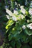 Grand hosta de floraison avec les fleurs blanches Photos stock