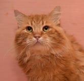 grand housecat pelucheux rouge Photos libres de droits