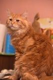 grand housecat pelucheux rouge Photos stock