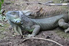 Grand iguane Photographie stock