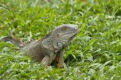 Grand iguane Photographie stock libre de droits