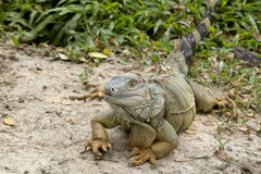 Grand iguane Photos libres de droits