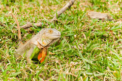 Grand iguane Photo libre de droits