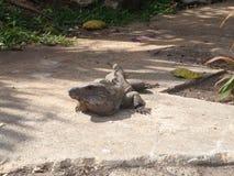 Grand iguane Images libres de droits