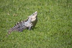 Grand iguane dans l'herbe courte en Amérique Centrale Image libre de droits