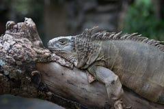 Grand iguane probablement Cyclura se reposant sur un arbre Photos libres de droits