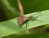 Grand insecte brun sur une herbe Photo stock