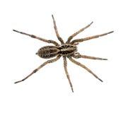 Grand instruction-macro velu d'araignée d'isolement - Lycosidae Photo libre de droits