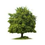 Grand isolat d'arbre Photo libre de droits