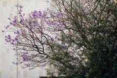 Grand jacaranda dans la ville Images stock