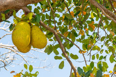 Grand Jack fruit de trois sur un arbre Photo libre de droits