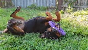 Grand jeu de chien avec le jouet d'anneau clips vidéos