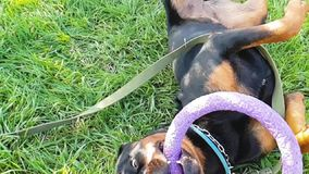 Grand jeu de chien avec le jouet d'anneau banque de vidéos