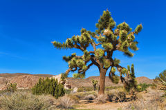 Grand Joshua Tree Photographie stock