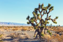 Grand Joshua Tree dans le Mojave Deserte, la Californie, Etats-Unis Photographie stock libre de droits