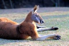 Grand kangourou rouge au repos Image libre de droits