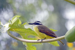 Grand kiskadee d'oiseau jaune Image libre de droits
