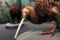 Grand kiwi repéré sur l'affichage dans le musée d'Auckland photographie stock libre de droits