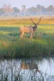 Grand Kudu plus grand mâle Photographie stock libre de droits