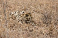 Grand léopard masculin fatigué fort fixant au repos sur l'herbe Photographie stock