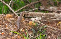 Grand lézard plaqué sur l'au sol de forêt Photo stock