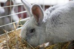 Grand lapin gris dans la cage Images libres de droits