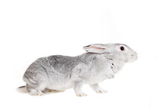 Grand lapin gris sur un blanc Photos libres de droits