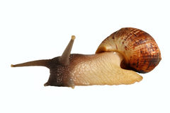 Grand le fulica d'Achatina d'escargot Images stock