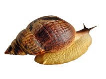 Grand le fulica d'Achatina d'escargot Photographie stock libre de droits