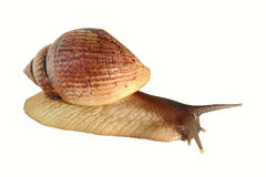 Grand le fulica d'Achatina d'escargot Photo libre de droits