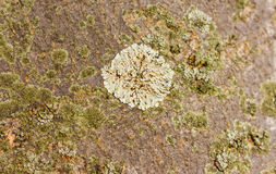 Grand lichen blanc d'arbre Photo libre de droits